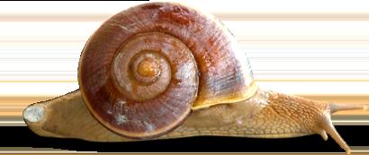 หอยทาก SiamSnail สยามสเนล